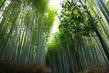 JP201630 Bamboo.jpg