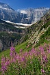 Fireweed & Grinnell Glacier 2 m.jpg