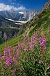 Fireweed & Grinnell Glacier 3 m.jpg