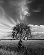 big cypress palm & moon 1008 b&w_A1G2545 m.jpg