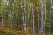 birch clumps with red maple 906 m.jpg