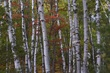 birch trunks with red maple 906 m.jpg