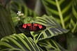 black & red butterfly on striped leaves m.jpg
