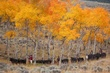 cattle and cowboys in the aspens 1009 _MG_7429 m.jpg