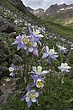columbine at american basin 2 m.jpg