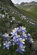 columbine at american basin m.jpg