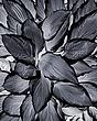 hosta reverse chromatic 0509 IMG_0016 m.jpg
