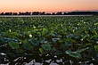 lake erie lillies at dawn  m 0808_A1G1883.jpg