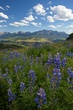 lupine in the mountains 0709 0A1G5685 m.jpg