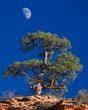 zion pine & moon 1108_A1G4524 v2 m.jpg