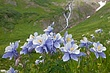 columbine cluster and falls 0711 mg198 m 2.jpg