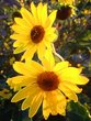 Flowers of the Sun.jpg