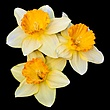 Dafodill Three 002 - Upload.jpg