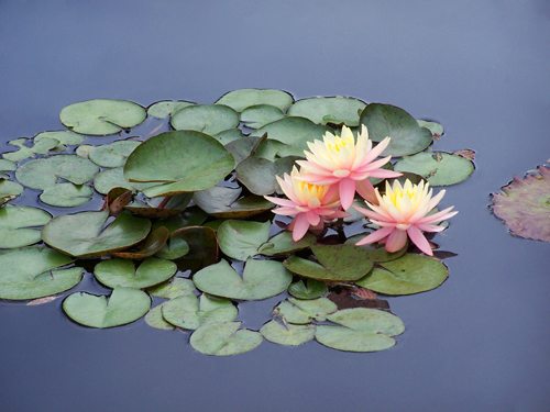 3 Pink Waterlillies .jpg