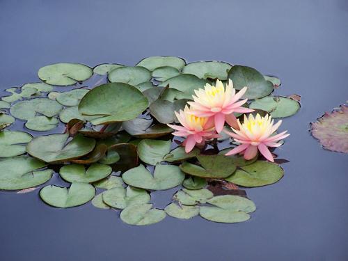 3 Pink Waterlillies .jpg