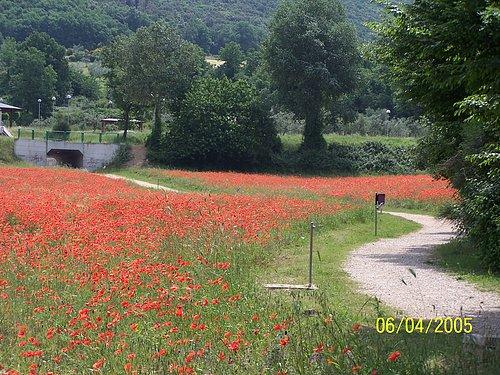 Carsulae Poppy Field.jpg