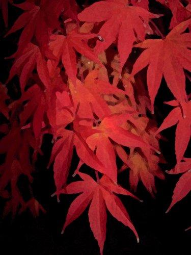 Cascading Red Maple.jpg