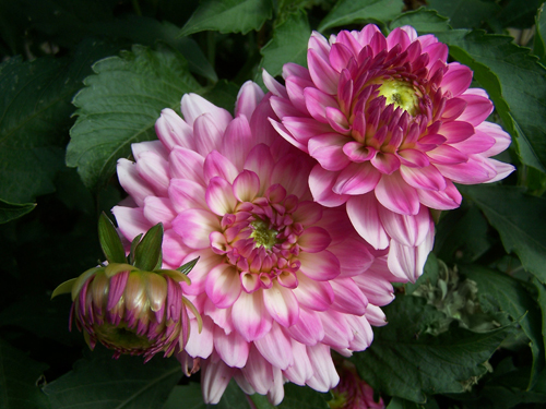 Pink Flowers Va.jpg