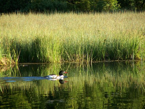 White Mallard among the Reeds.jpg