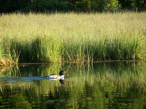 White Mallard among the Reeds.jpg