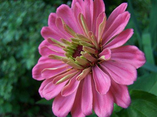 pink Zinnia --1R.jpg