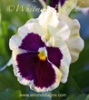 Cream and Purple Pansy.jpg