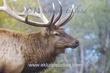Elk Portrait.jpg
