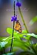 Orange Butterfly on flower.jpg