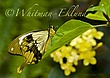 Yellow and Black Swallowtail Butterfly on Leaf.jpg