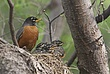 _MG_0844 Robin mom and babies23x17.....jpg