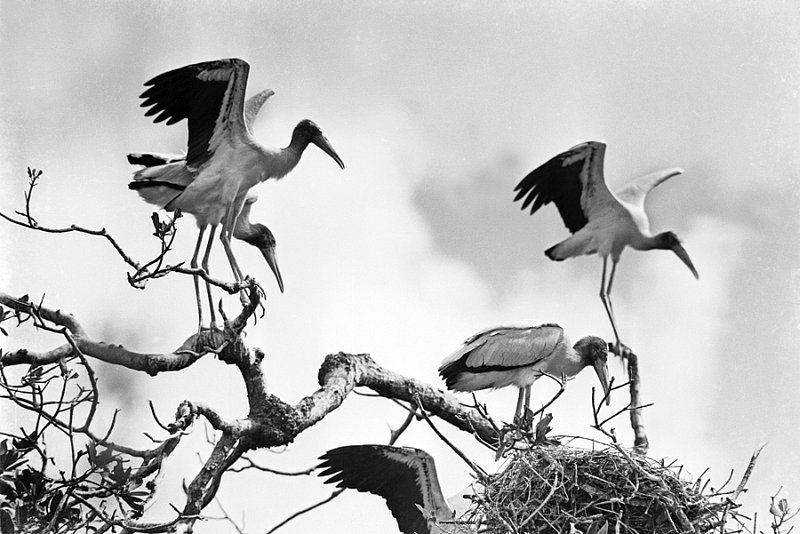 ERGLADES 5-20 bird rookery wood ibis on nest in 10000 Islands region of Florida 1937.3.jpg