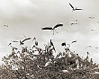 EVERGLADES (5-015LR)  bird  rookeries-medium range shot of mass of birds on treetops.jpg