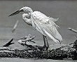 EVERGLADES (5-135LR) snowy white egret crouching on branch. close-up.jpg