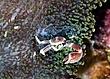 Anemone Crab.jpg