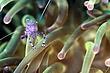 Anemone Shrimp.jpg