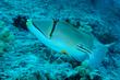 Arabian Picasso Triggerfish(1).jpg