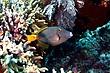Barred Filefish.jpg