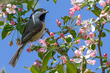 Black-throated Blue Warbler.jpg