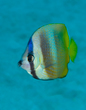 Blacklip Butterflyfish.jpg