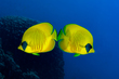 Blue Cheeked Butterflyfish(1).jpg
