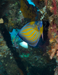 Blue-Ringed Angelfish(2).jpg