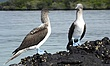 Blue-footed Booby.jpg