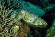 Broadclub Cuttlefish(1).jpg