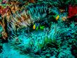 Clarks Anemonefish 2(1).jpg