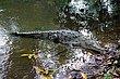 American Crocodile.jpg