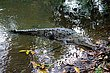 American Crocodile1.jpg