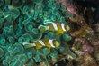 Anemonefish-7925.jpg