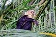 Capuchin Monkey 1.jpg