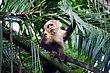 Capuchin Monkey 2.jpg