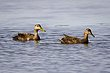 American Black Duck Mallard.jpg